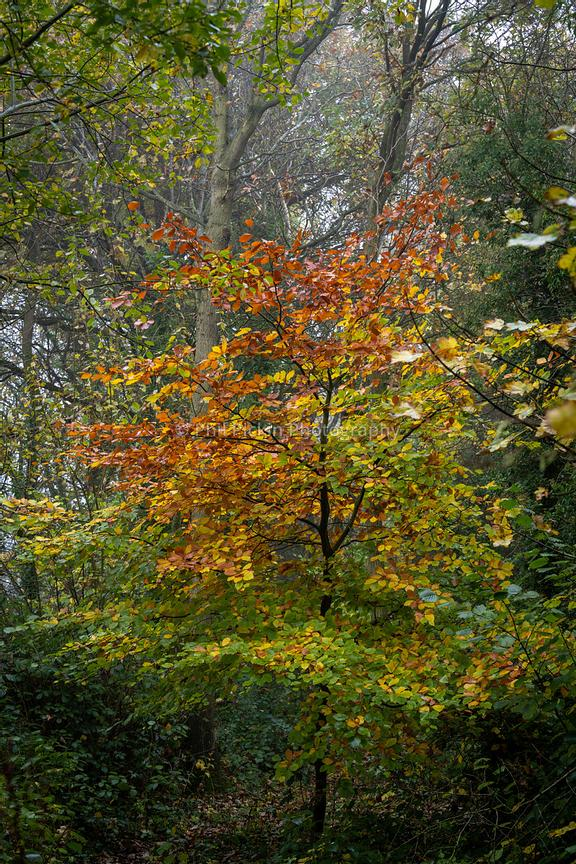Beech tree in autumn in an English wood.