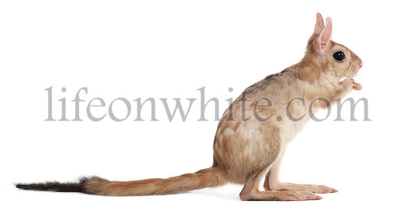Side view of Springhare, Pedetes capensis, standing in front of white background