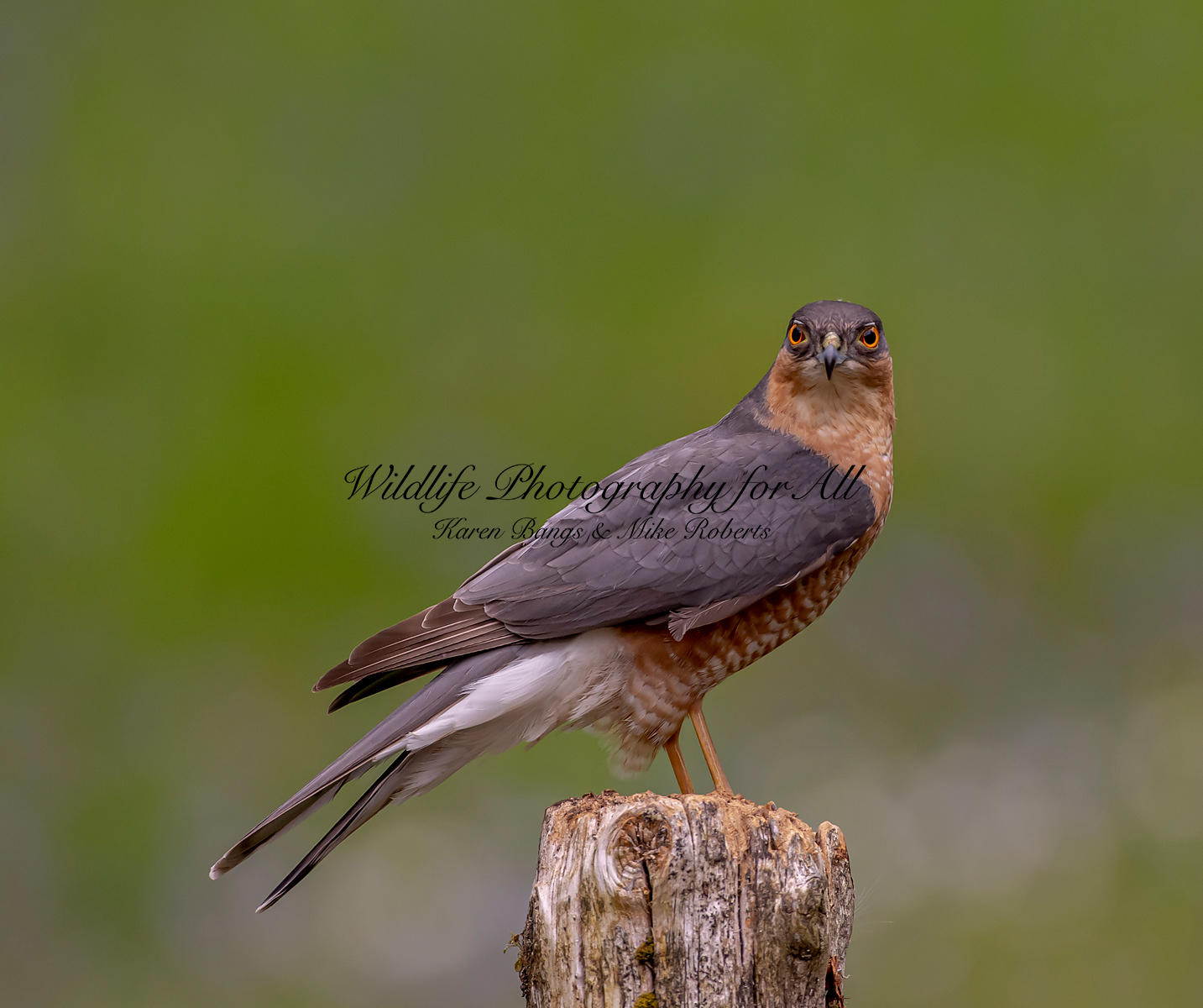 Male Sparrowhawk - Mike Roberts