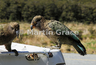 Juvenile Kea (Nestor notabilis) (right) hitching a ride on a pick-up truck, Te Anau-Milford Highway, Fiordland National Park,...