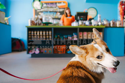 A corgi looking over his shoulder while sitting in front of the cashier at a store