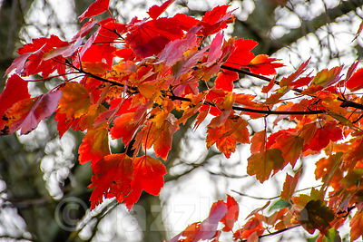 Red maple leaves on tree branch.