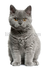 Selkirk Rex kitten, 3 months old, sitting in front of white background