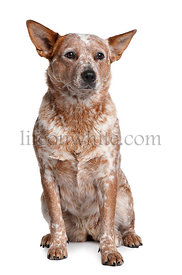 Australian Cattle Dog, 2 Years Old, sitting