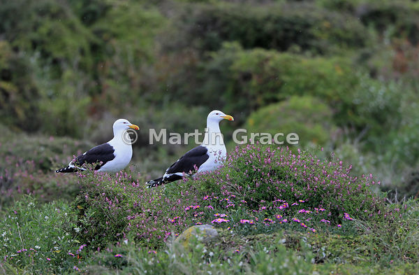 Two Southern Black-Backed Gulls (Larus dominicanus dominicanus) with various wild plants, including the alien Scrambling (Wal...