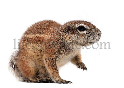 Cape Ground Squirrel, Xerus inauris, sitting against white background
