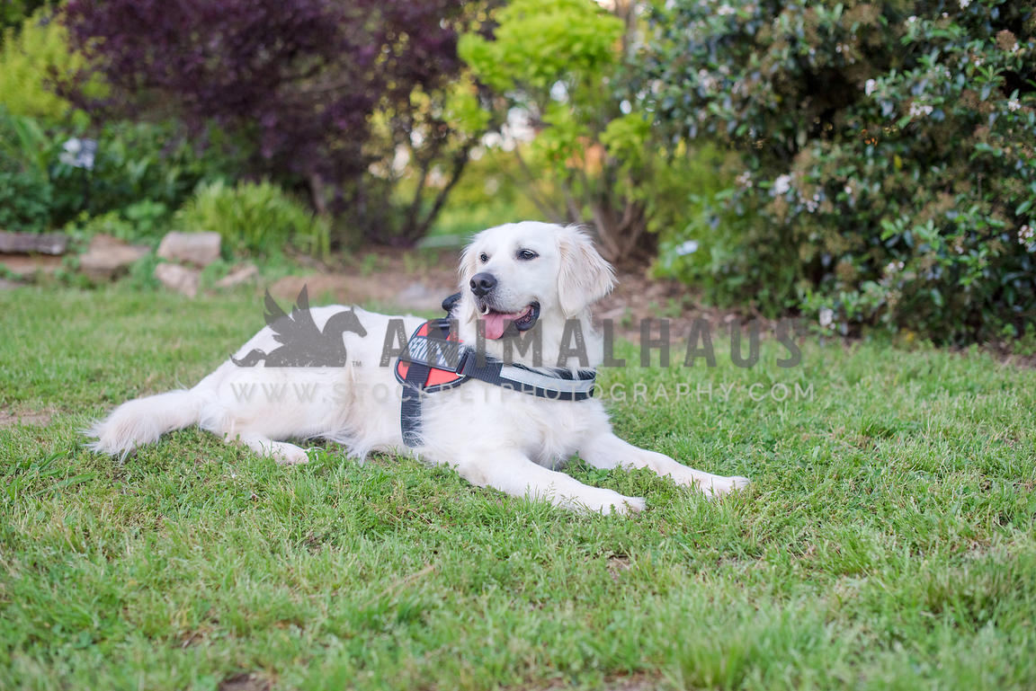 golden retriever wearing service dog vest lying in the grass