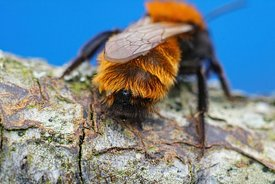 Closeup of a colorful female Tawny mining , Andrena fulva infected with a parasite Stylops nevinsoni in her back body