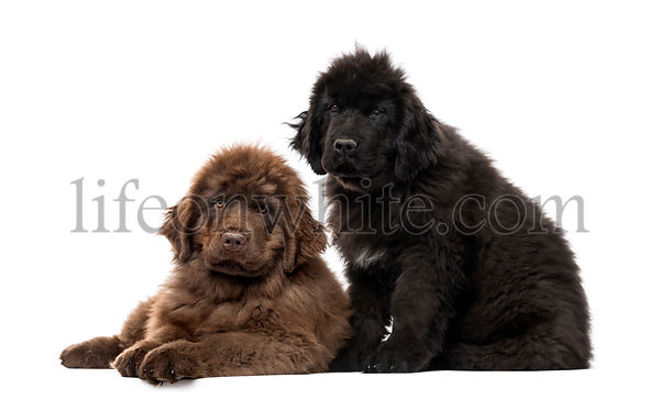 Newfoundland puppy, Newfoundland isolated on white