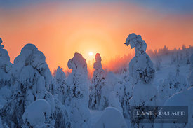 Boreal forest with snow covered spruces in winter - Europe, Finland, Northern Ostrobothnia, Ruka, Rukatunturi (Lapland) - dig...