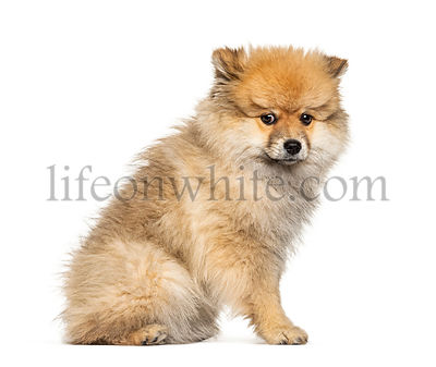Sitting Keeshond, isolated on white