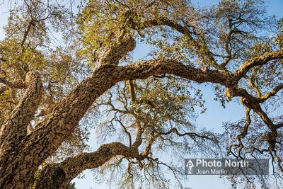 OAK 30A - Cork oak tree