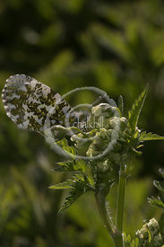 [Anthocharis cardamines [58.003] Orange-tip]-[GBR-Cheesefoot Head]