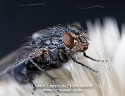 Image - A fly - possibly a Blue Bottle, Calliphora vicina