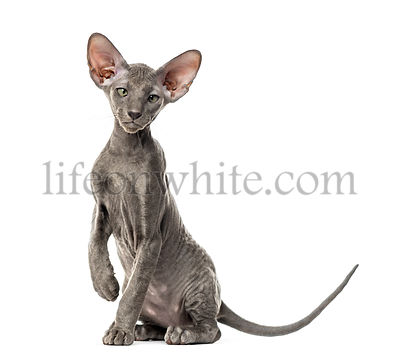 Young peterbald cat, sitting, isolated on white
