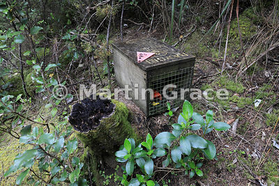 Predator trap on Rangitoto Island, Hauraki Gulf, Auckland, North Island, New Zealand: See Description for more information