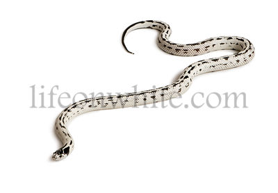 California King snake, Lampropeltis getula californiae