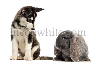 Husky malamute puppy sitting and looking at a rabbit