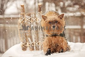 Yorkshire terrier with vintage wood sledge