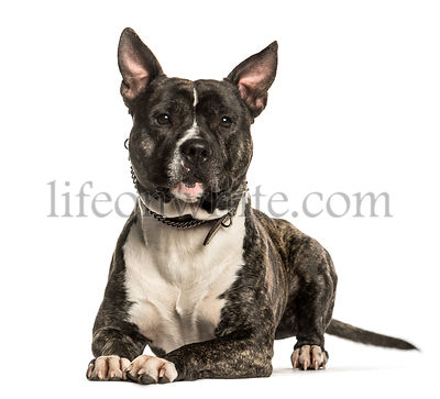 American Staffordshire Terrier lying against white background