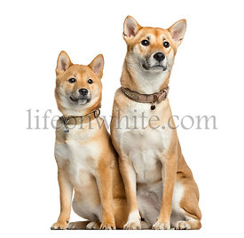 Two Shiba Inu, 1 year and 6 months old sitting, isolated on white