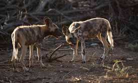 Wild Dog Pups, Erindi Game Reserve