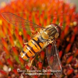 Image - A Male Episyrphus balteatus hoverfly feeding on Coneflower