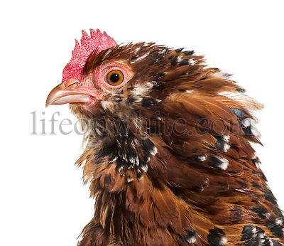 The Barbu d'Uccle or Belgian d'Uccle hen, close up against white background