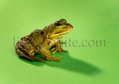 Common Water Frog in front of a green background