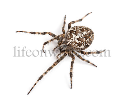 Top view of an European garden spider, Araneus diadematus, against white background
