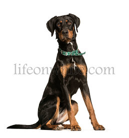 Doberman, 10 years old, sitting in front of white background