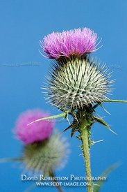 Image - Cotton Thistle, Onopordon acanthium
