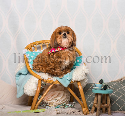 Shih Tzu dog in floral collar sitting in domestic room, portrait