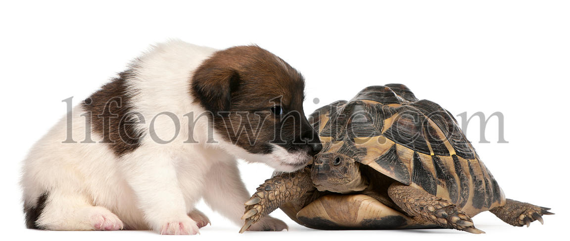 Fox terrier puppy, 1 month old, and Hermann\\'s tortoise, Testudo hermanni, in front of white background