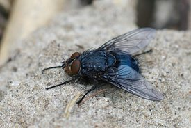 Closeup of a blowfly , Calliphora vicina sunning on sandy soil