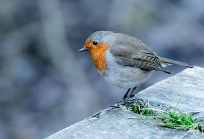 carr_vale_robin_fs_00930