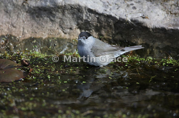 Male Eurasian Blackcap (Sylvia atricapilla) in the garden pond, Lake District National Park, Cumbria, England