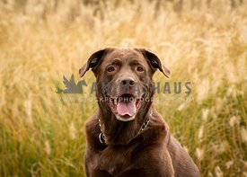 A happy chocolate lab with autumn grasses
