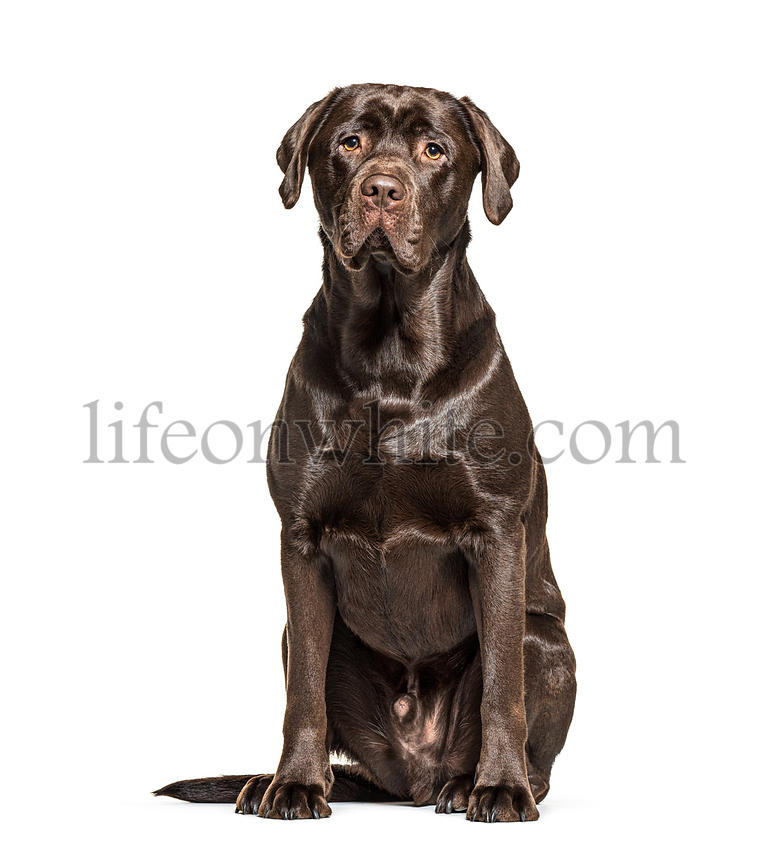 Sitting Chocolate Labrador dog, isolated on white
