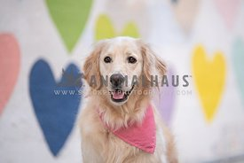 close up of sport retriever in front of painted hearts wall