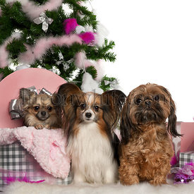 Chihuahua, 18 months old, getting out a box, with Papillon, 5 years old, and Shih Tzu with Christmas tree and gifts in front ...