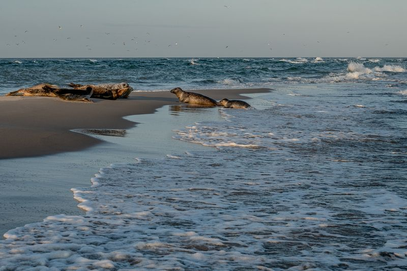 Seals in Skagen, Denmark 7