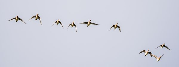 Wigeons flight - broader view