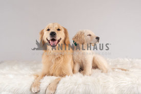golden retriever puppy laying next to adult golden