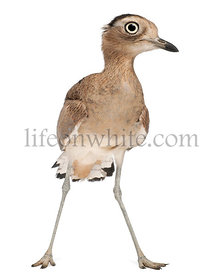 Peruvian Thick-knee, Burhinus superciliaris, 3 years old, in front of white background