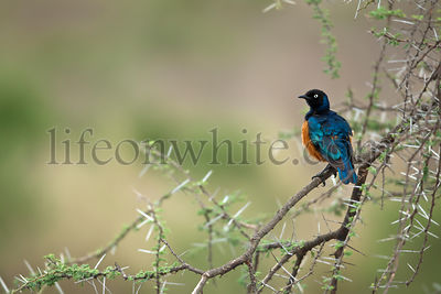 Starling on branch, Serengeti National Park, Serengeti, Tanzania, Africa