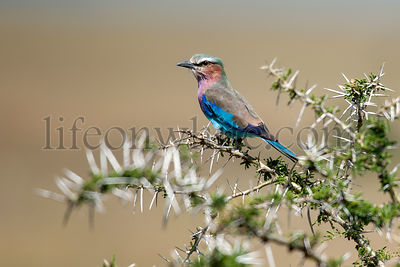 Lilac-breasted Roller, Coracias caudatus, in Serengeti National Park of Tanzania, Africa