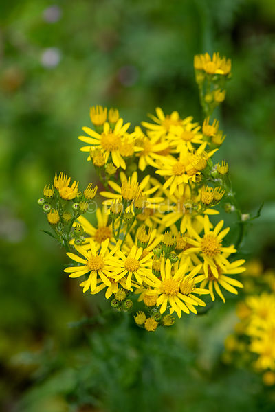 Yellow Ragwort flowers.