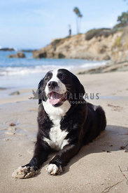 Smiling Dog Sitting on the Beach with Paws In the Sand and Beach Shoreline in Background