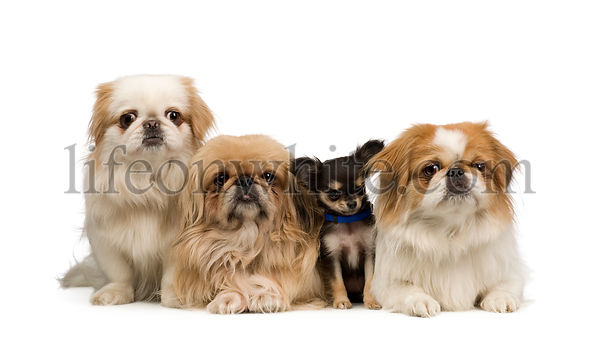 three Pekingeses and one chihuahua